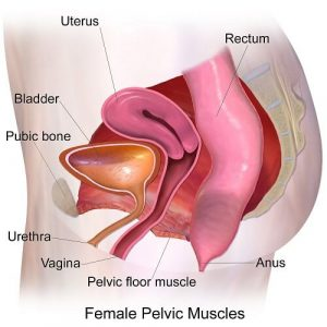 Find the Pelvic Floor